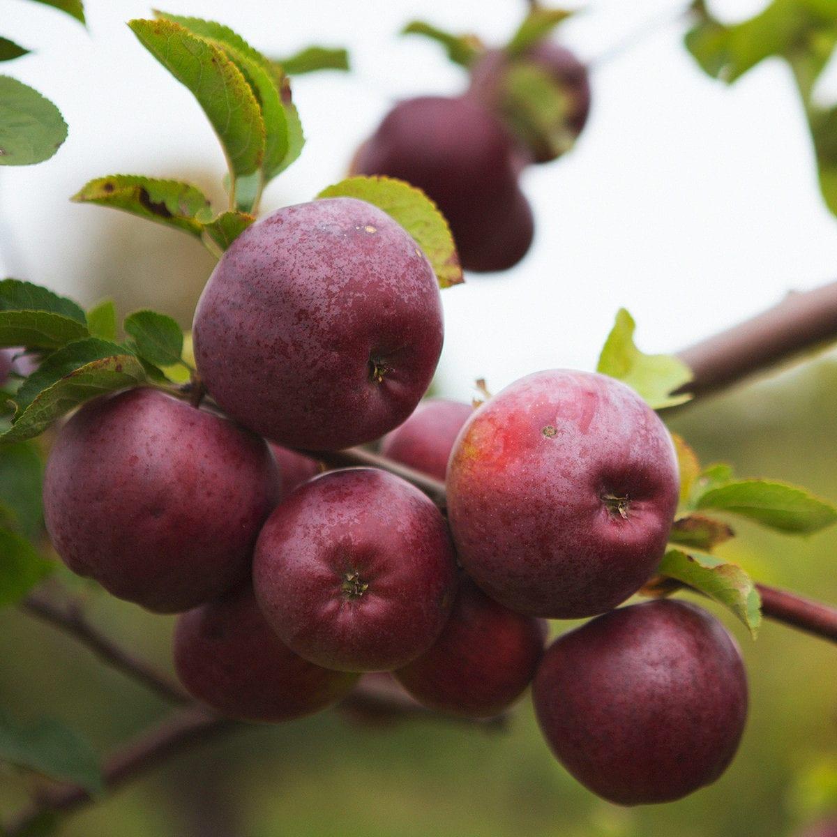 Äppelsorter