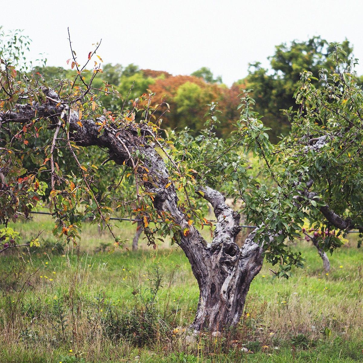 Skötsel av en ekologisk äppelodling under året