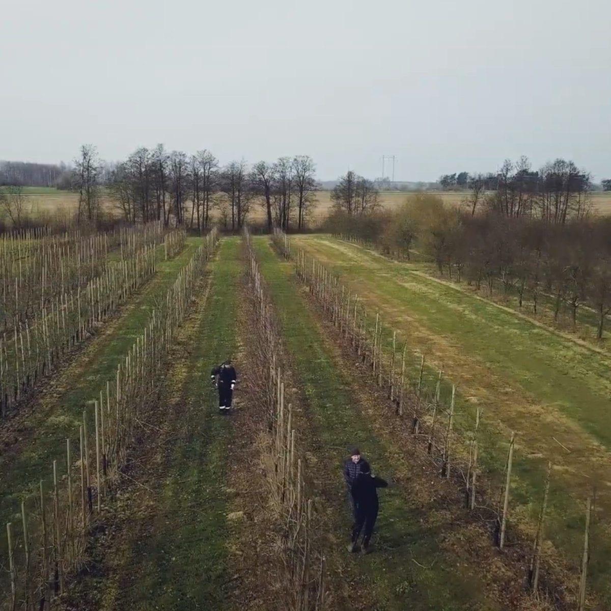 Beskärning av äppelträd för kommersiell fruktproduktion
