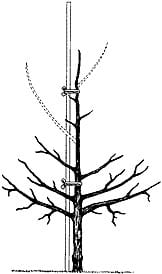 Beskärning av äppelträd