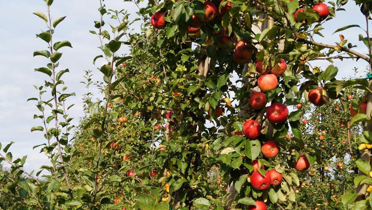 Framtidens Frukt Helenelust gård öppen odling