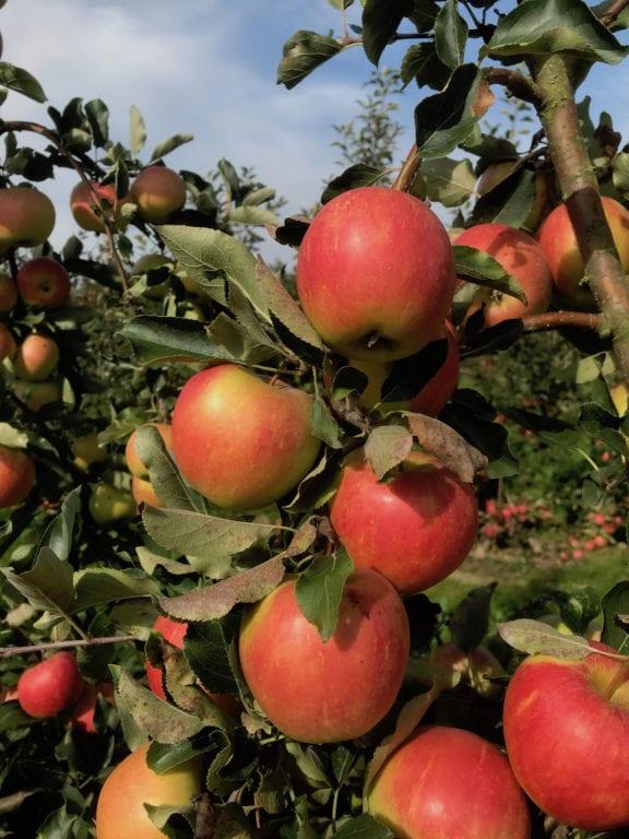 Äpplen - Bild: Kimmo Rumpunen