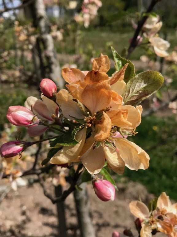 Frost Blomma Äpplen - Bild: Kimmo Rumpunen