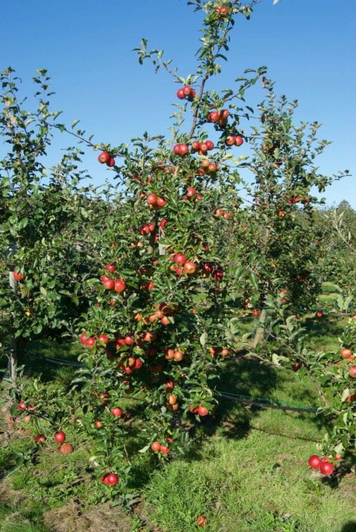 Äppelträd - Bild: Kimmo Rumpunen