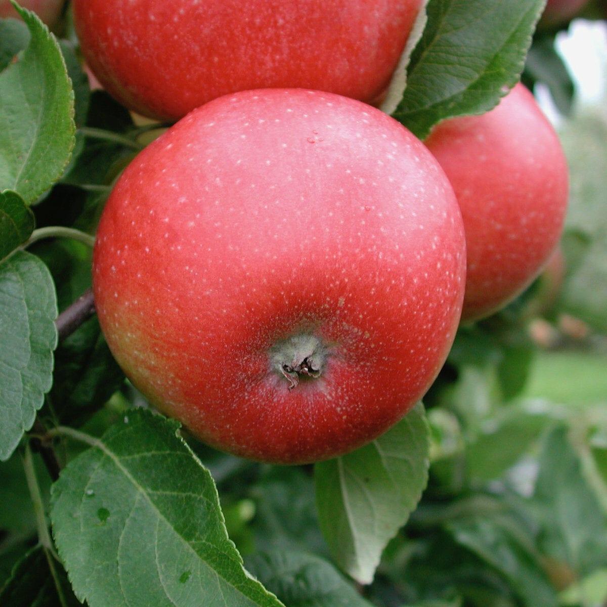 Aroma äppelsort - framtidens frukt