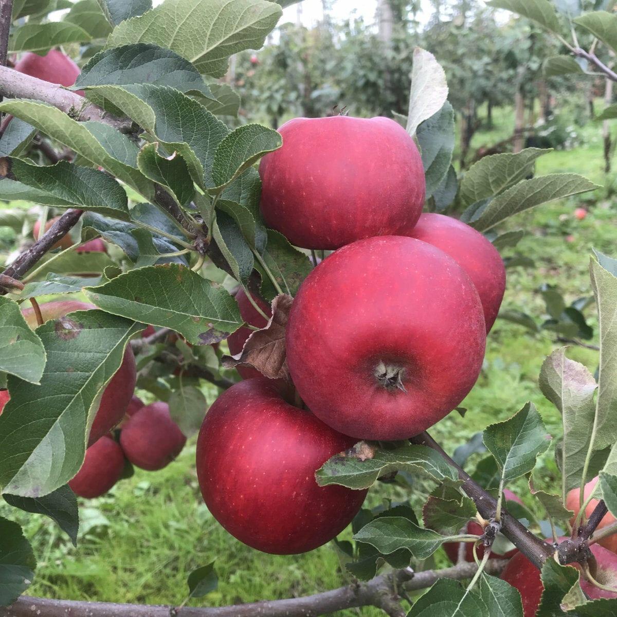 Rubinstep Pirouette äppelsort framtidens frukt