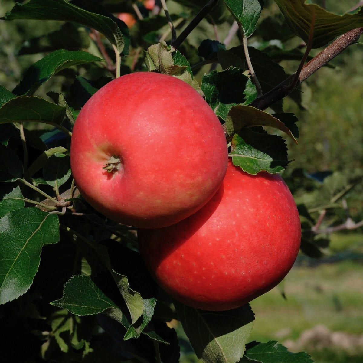 Agnes SLUBGD1377 Äppelsorter
