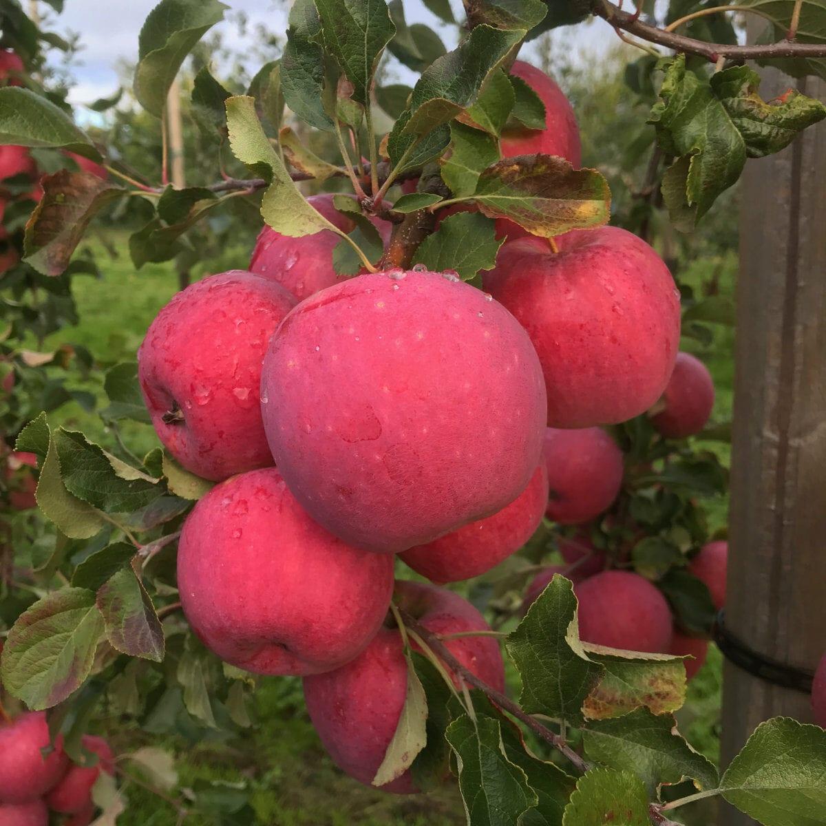 Reanda äppelsorter äppelodling framtidens frukt