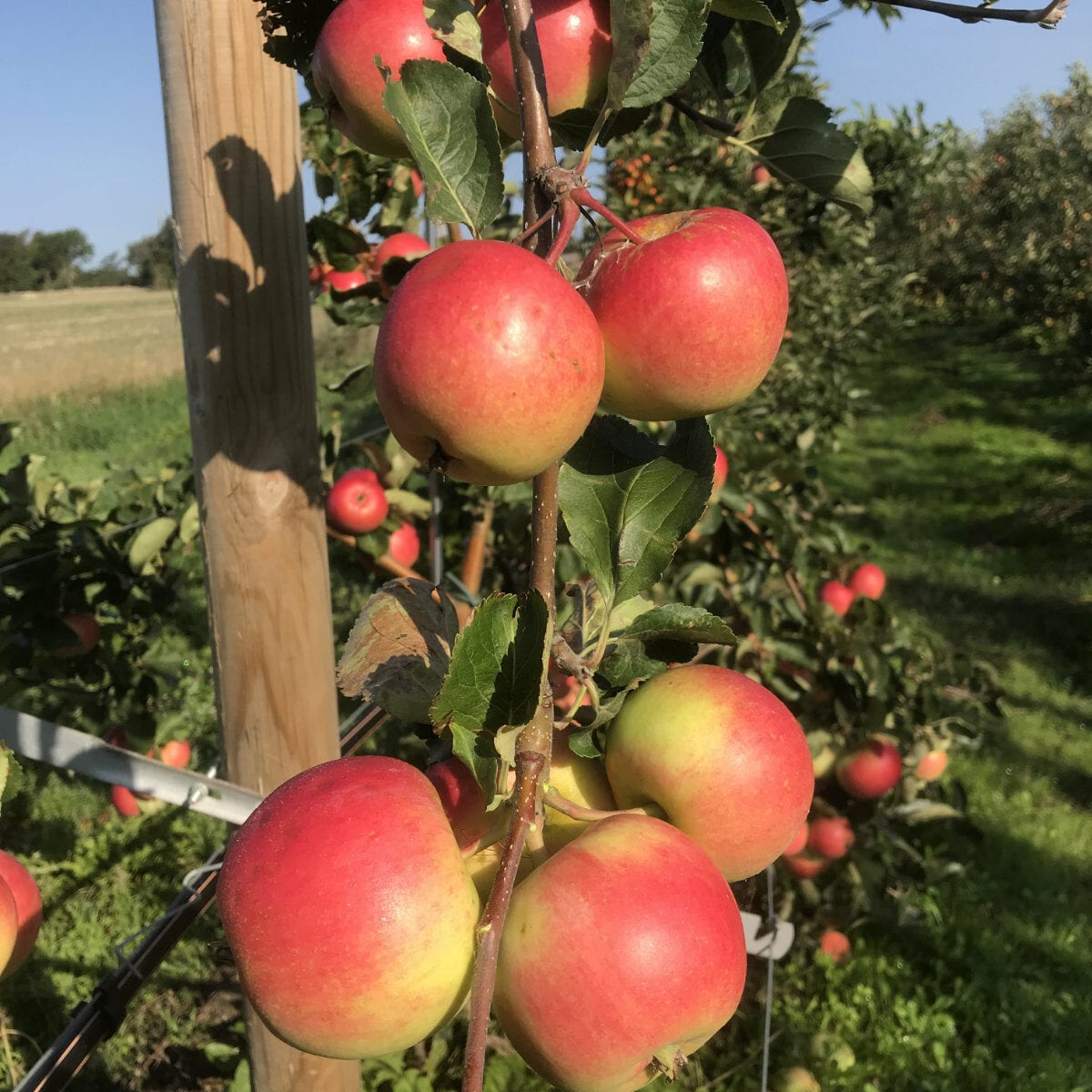 Saltanat äppelsort äppelodling framtidens frukt