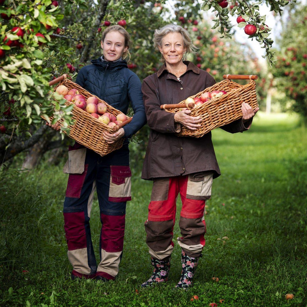 Köpings musteri ekologisk äppelodling
